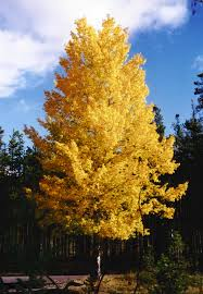 native plants for sale online quaking aspen is a native american tree adapted to cold regions