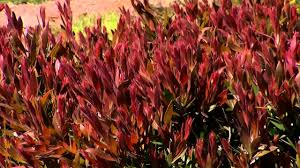 native hedgerow plants red alert callistemon is a red foliage hedge plant youtube