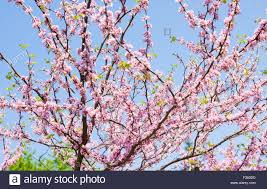 branches of eastern redbud also called as judas tree name
