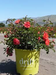 drift roses drift t y nursery