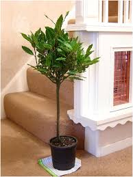 Bay Tree Topiary Twisted Hardy Aromatic Laurus Nobilis Sweet Bay Tree In Pot Indoor