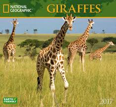 amazon com national geographic giraffes 2017 wall calendar