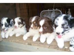 australian shepherd dog for sale australian shepherds puppies for sale beautiful akc australian