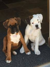 boxer dog reverse brindle best 20 white boxer dogs ideas on pinterest white boxers white