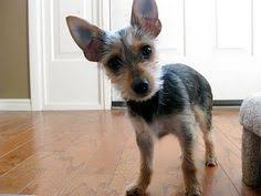 short haired chorkie the beauty of wildlife primal pinterest posts the beauty