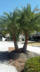 sylvester date palm tree sylvester date palm liberty landscape supply