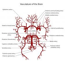 Vascular Anatomy Of The Brain Posterior Cerebral Artery Anatomy Pathophysiology Neuro4students