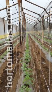 trellising hydroponic tomatoes with hortomallas grow netting
