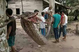 film ular phyton gigit penangkapnya piton sepanjang 7 meter digoreng warga kompas com