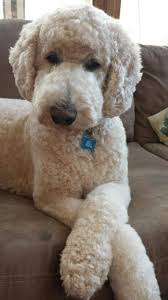 poodles long hair in winter this is how diamond will look this winter should be easier to