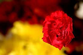 carnation symbolism wiki fandom powered by wikia