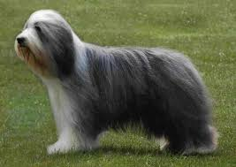 bearded collie mini 466 best bearded collies images on pinterest bearded collie