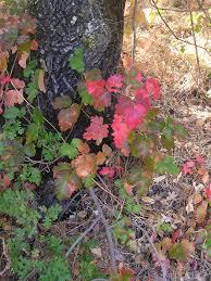 non native plants in california toxicodendron diversilobum wikipedia
