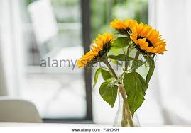 Vase Of Sunflowers Vase Of Sunflowers Stock Photos U0026 Vase Of Sunflowers Stock Images