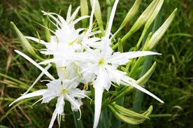 Dragon Lily Flower - dragon u0027s blood tree dracena draco wiccans pagans u0026 witches