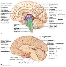 brain anatomy coloring book brain midsagittal section jpg 1076 1088 a u0026 p pinterest
