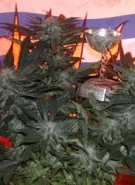 bc god bud marijuana seeds bc bud depot bc bud depot