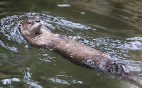 Kentucky wild swimming images Art lander 39 s outdoors once endangered river otters now likely to jpg