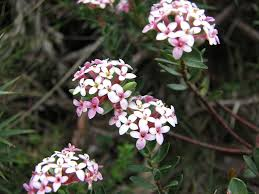 plants native to australia pimelea alpina the alpine rice flower is endemic to southern