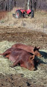 144 best farm life hogs images on pinterest farm life farm