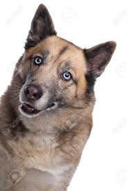 belgian sheepdog husky mix mixed breed dog of a husky and a belgian shepherd dog in front