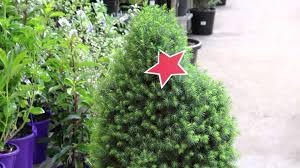 potted christmas tree potted christmas tree features and benefits