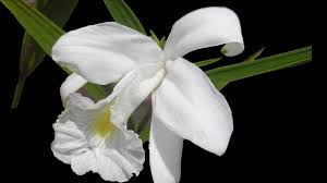 White Orchid Flower Free Photo Flower Flowers Spring White Orchid Plant Garden Max Pixel