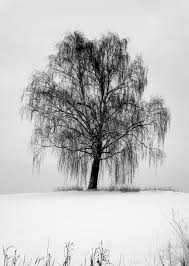 amazing weeping willow tree design ideas and meaning