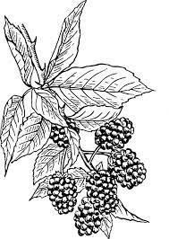 free vector graphic blackberries vine bush fruit free image