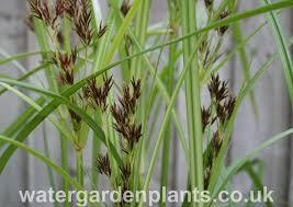 native uk plants cyperus longus water garden plants
