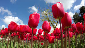 what is the tulip mania ico all about the merkle