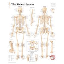 Human Anatomy Skeleton Diagram Important Bone Surgery Changes Anatomy Posters And Anatomy Charts
