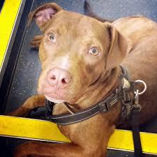 american pit bull terrier lab mix pit bull mix archives allmutt com