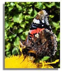 butterflies of scotland admiral