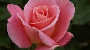 hybrid tea rose growing and planting tips rose gardening tips