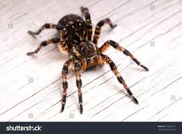 top view tarantula spider on wooden stock photo 128206121