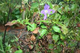 clematis care how to grow clematis