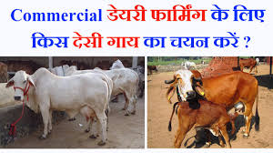 dairy farming best indian milking cow breeds for commercial dairy