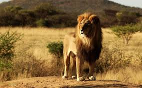 download wallpapers africa nature landscape lion free disclaimer