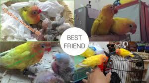 lovebird exotic the colour of lovebird youtube