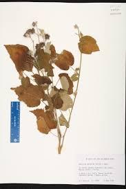 florida keys native plants abutilon permolle species page isb atlas of florida plants