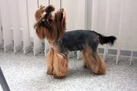 haircuts for yorkies three types for yorkshire terriers hairstyles what you need for