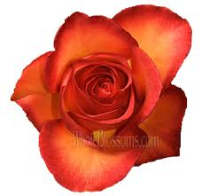 bulk roses fancy bicolor bulk flowers at wholesale price
