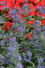 Bluebeard Flower - longwood blue bluebeard monrovia longwood blue bluebeard