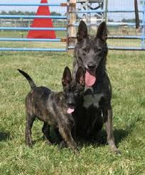 belgian sheepdog puppies for sale uk our dutch shepherds earn their stripes at cher car kennels