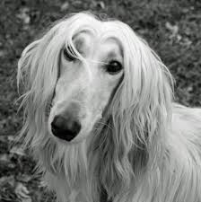 afghan hound arizona afghan hound dogs afghan hound dog breed info u0026 pictures petmd
