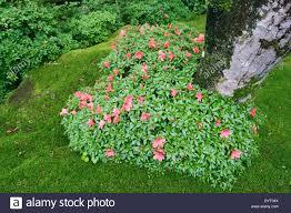 blooming azalea bush in shape of heart in japanese zen garden