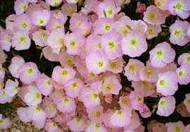 Pink Primrose Flower - evening primrose flower pictures u0026 meanings pink evening