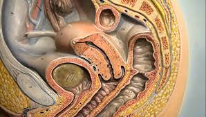 Anatomy Of Female Reproductive System Anatomy Female Reproductive System Ovary Mammary Gland Youtube
