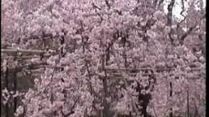 cherry blossom decor cheap japanese cherry blossom decor find japanese cherry blossom